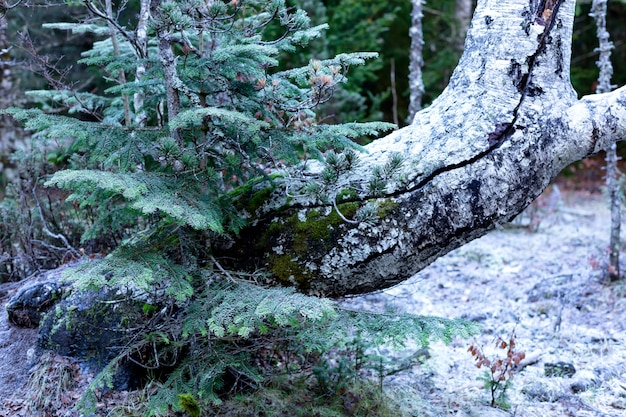 Foresta congelata in inverno