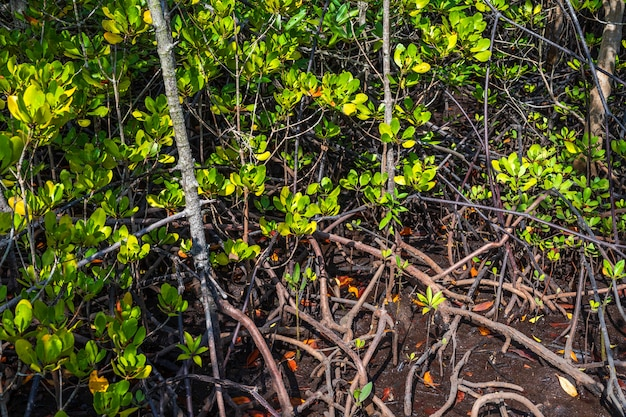 Foresta degli alberi della mangrovia, provincia di chon buri, tailandia.