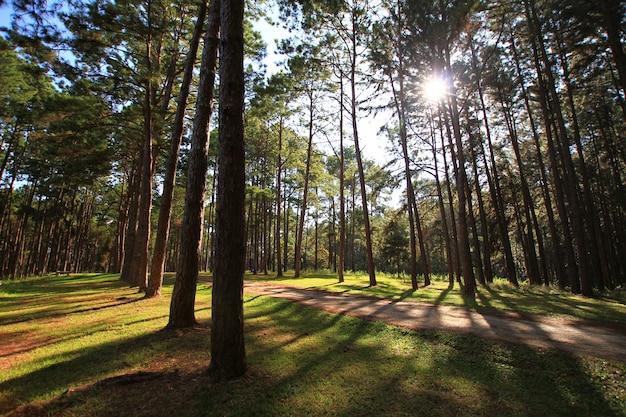 Foresta del pino al giorno soleggiato della molla. tunnel di modo della strada del pino