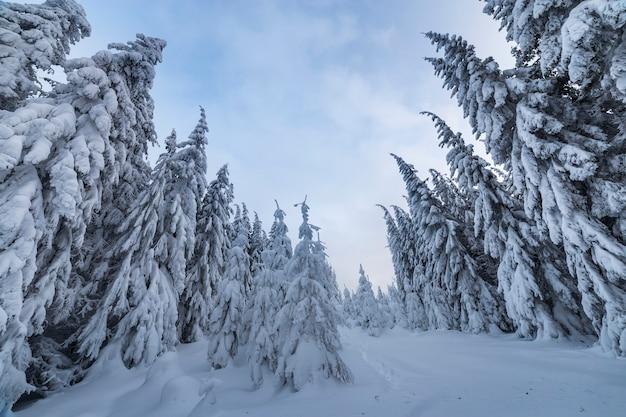 Foresta del pino in inverno con neve profonda.