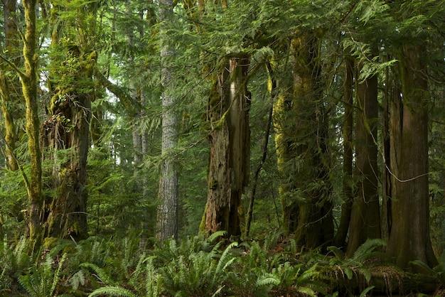 Foresta della columbia britannica