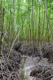 Foresta della mangrovia alla prerogativa di natura e forestklaeng al prasae, provincia di rayong, tailandia
