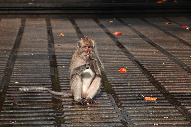 Foresta delle scimmie, zoo di bali, indonesia