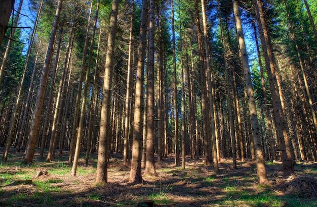 Foresta di abeti rossi, slovenia