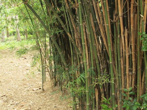 Foresta di bamboo. priorità bassa degli alberi all'interno della giungla tropicale