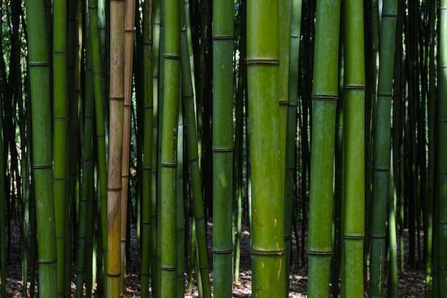 Foresta di bamboo.