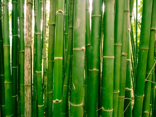 Foresta di bambù al mattino, boschetti pittoreschi di un bambù nella foresta pluviale tropicale, thailandia