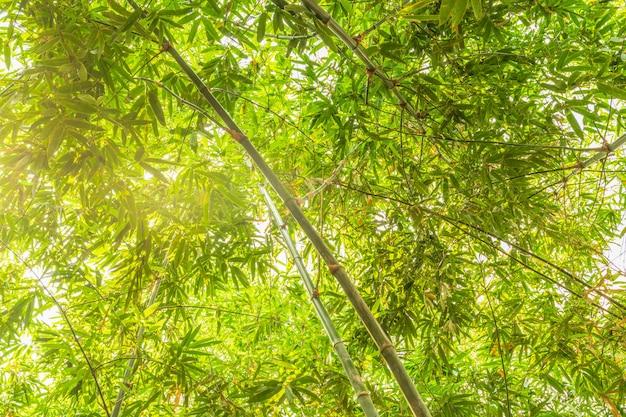 Foresta di bambù con luce solare