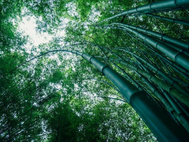 Foresta di bambù di mattina, boschetti pittoreschi di un bambù, tailandia
