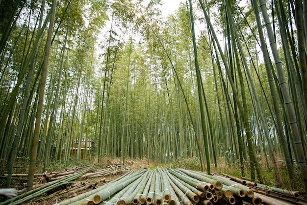 Foresta di bambù in giappone, arashiyama, kyoto
