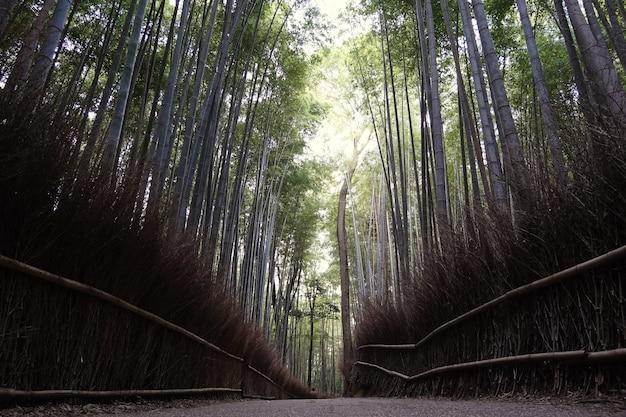 Foresta di bambù in giappone