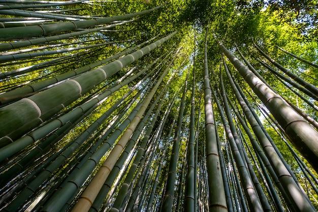 Foresta di bambù, kyoto