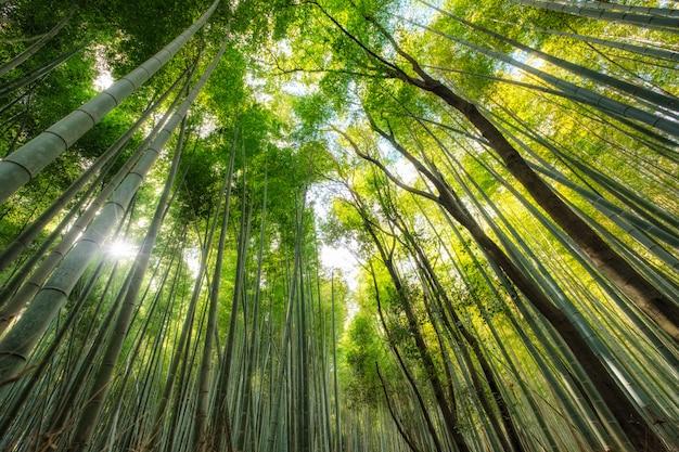 Foresta di bambù verde con luce solare