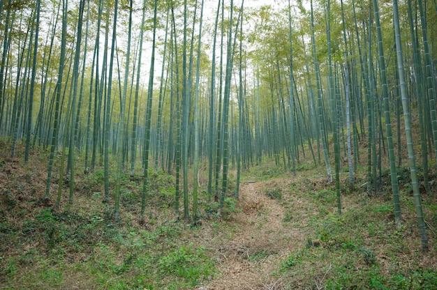Foresta di bambù verde in cina