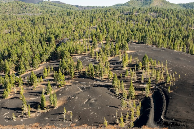 Foresta di conifere che cresce su terreno vulcanico