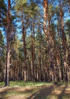 Foresta di conifere verde in una soleggiata giornata estiva