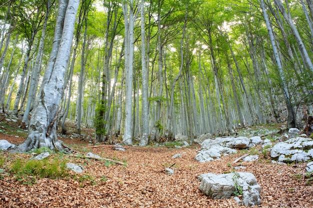 Foresta di faggi in slovenia