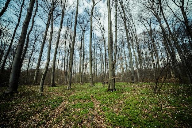 Foresta di faggi primavera