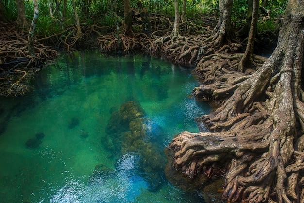 Foresta di mangrovie con lago
