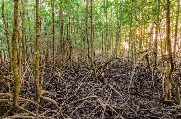 Foresta di mangrovie e la luce del mattino