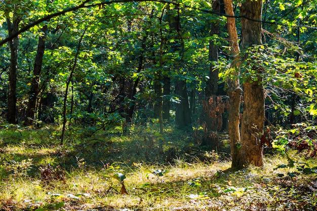 Foresta di nebbia del paesaggio bella foresta