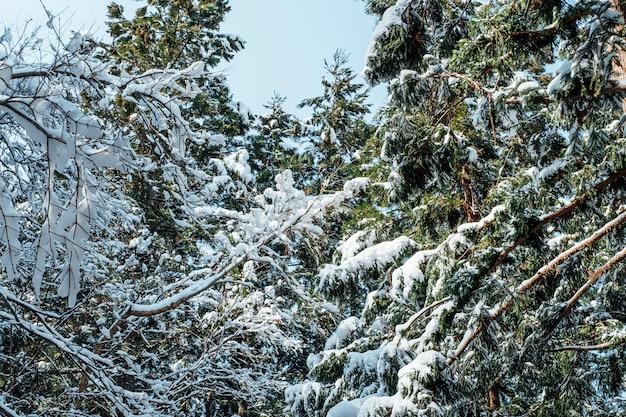 Foresta di neve in giappone