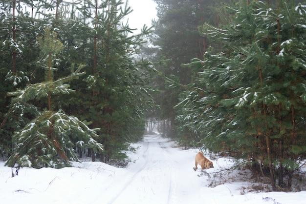 Foresta invernale, pino, passeggiata con un cane