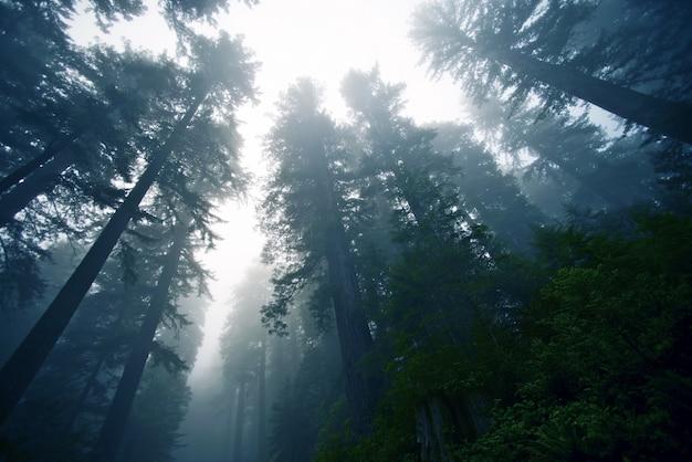 Foresta nebbia profonda