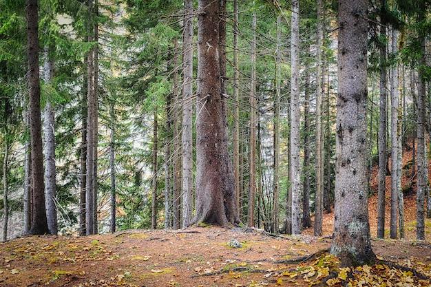 Foreste di conifere nella stagione autunnale illuminata dal sole