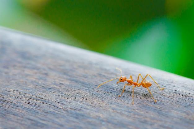 Formica in piedi sul pavimento di legno