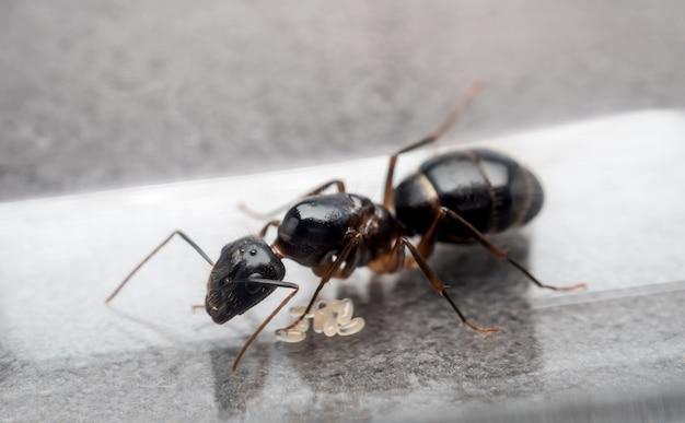 Formica regina carpentiere per evitare le uova