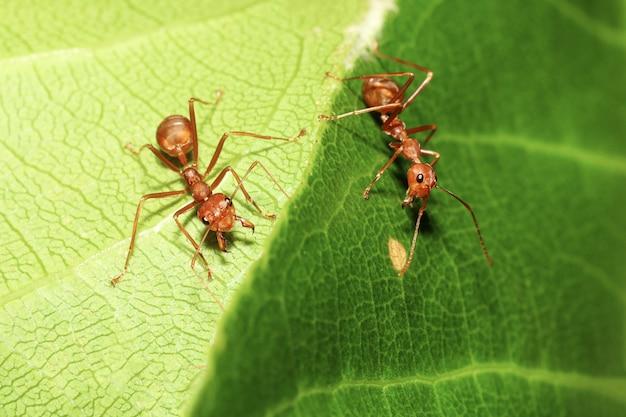 Formica rossa a macroistruzione sulla foglia verde in natura alla tailandia