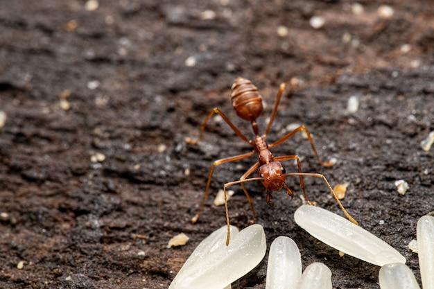 Formica rossa con riso