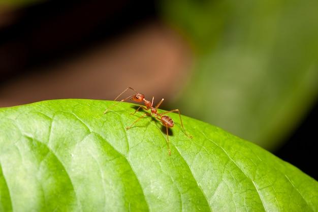 Formica rossa sulla foglia verde in natura alla tailandia