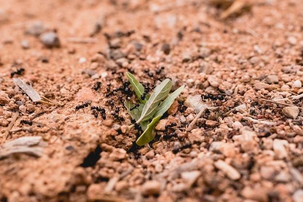 Formiche in fila camminando in cerca di cibo.