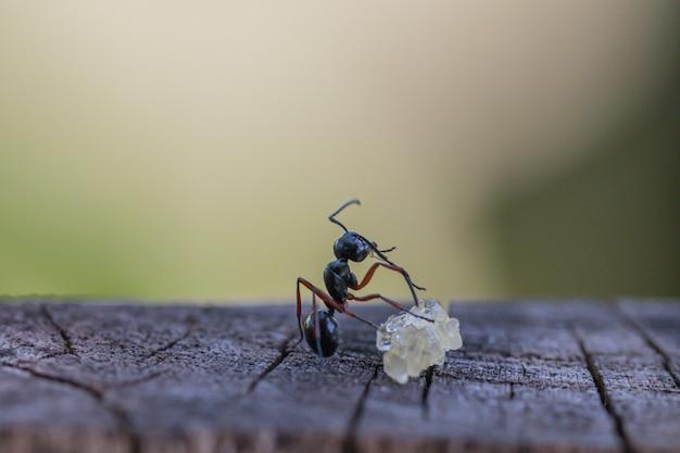 Formiche nere con messa a fuoco selettiva che mangiano zucchero a terra. comportamento delle formiche le formiche operaie stanno lavorando.