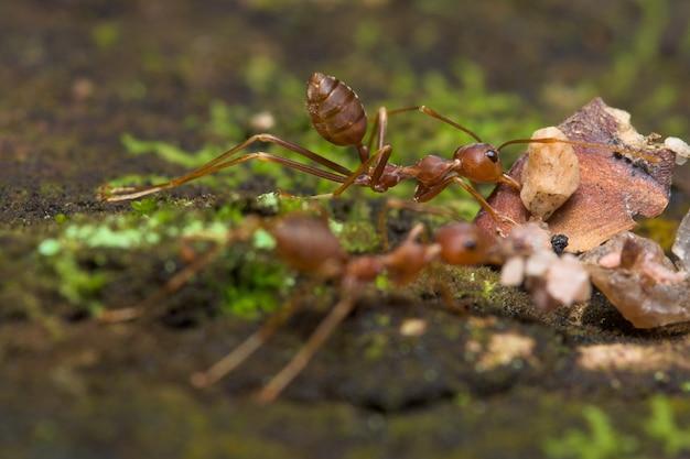 Formiche rosse in natura