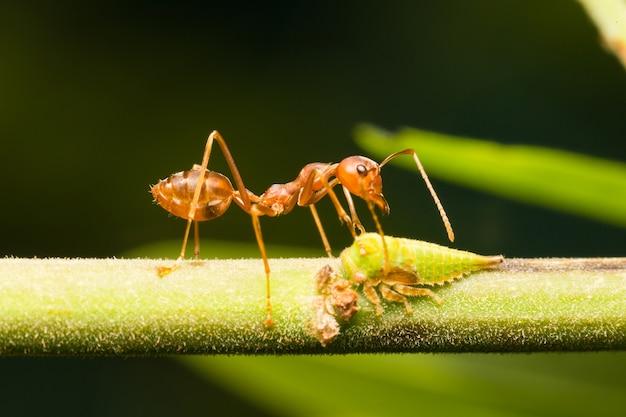Formiche rosse sui rami