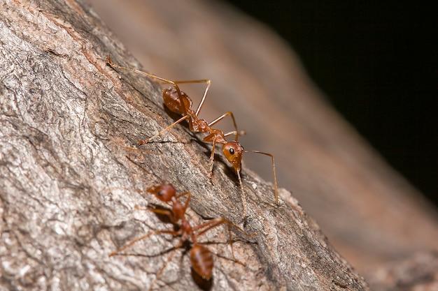 Formiche rosse sull'albero