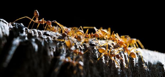 Formiche tessute o formiche verdi