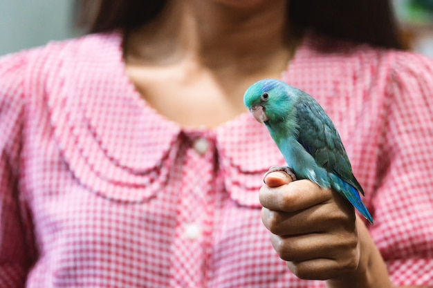 Forpus pappagallo uccello sulla mano della donna