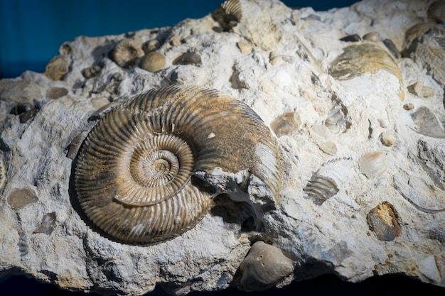 Fossile di ammonite incastonato nella pietra, vero antico guscio pietrificato per il carburante