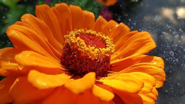 Foto a macroistruzione del fiore capo di zinnia