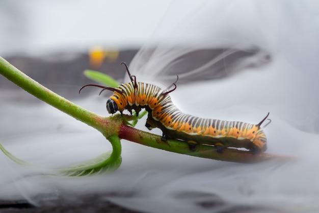 Foto a macroistruzione di un bruco monarca nella nebbia