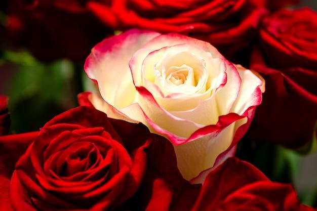 Foto a macroistruzione di una rosa bianca fra parecchie rose rosse rosse. il concetto non è come tutti gli altri.