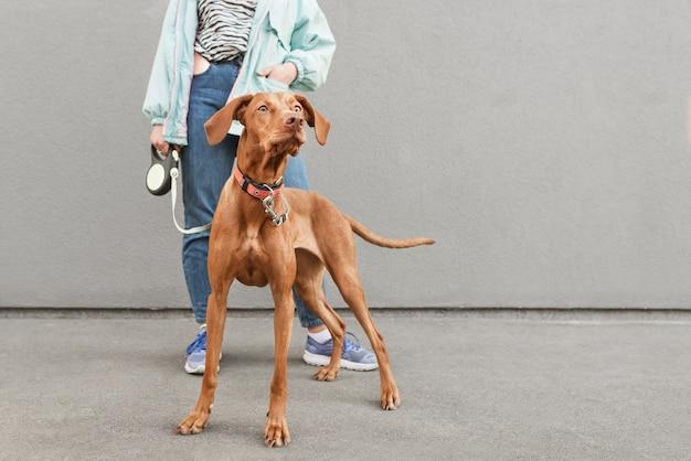 Foto del primo piano del cane di razza magyar vizsla al guinzaglio
