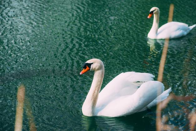 Foto di bello nuoto del cigno sul danubio il giorno di molla piacevole