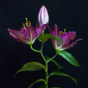 Foto di natura morta di una gemma e gigli viola completamente fioriti con sfondo posteriore