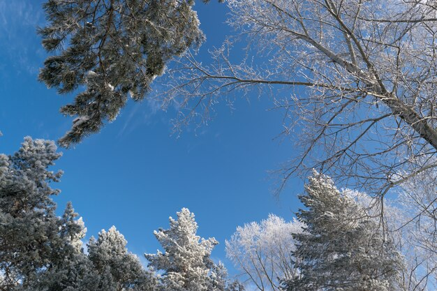 Foto invernale del cielo blu circondato dalle cime degli alberi. brina che cade dai rami