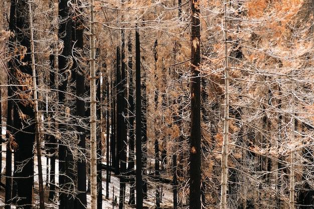 Fotografia di una foresta di alberi bruciati dopo un incendio. colori marrone nero e giallo con toni ocra. gli alberi sono pini